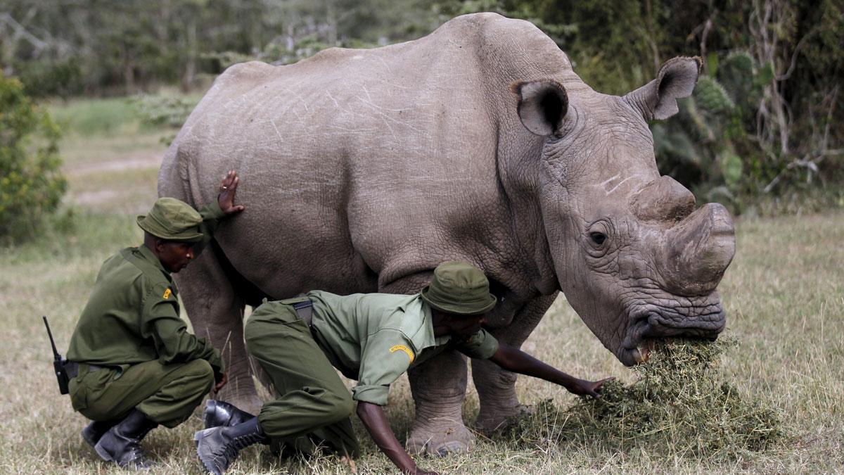 El rinoceronte blanco se extingue
