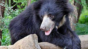 El oso del libro de la selva