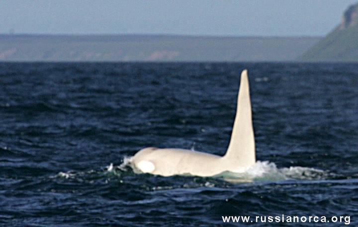 Su aleta dorsal mide unos 2 metros, por lo que es un ejemplar adulto