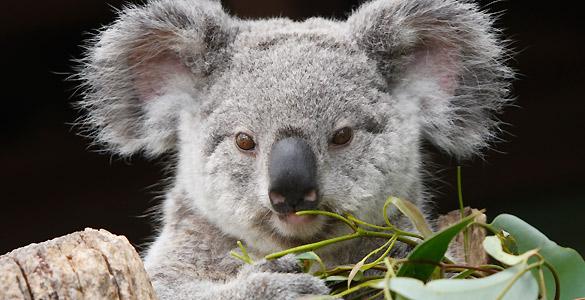 Los koalas son uno de los símbolos de la fauna australiana