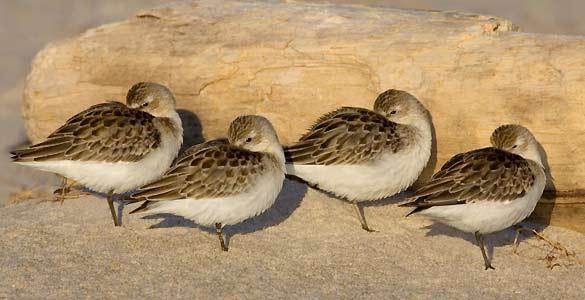 Algunas aves duermen de pie porque deben estar preparadas para salir huyendo lo más rápido posible