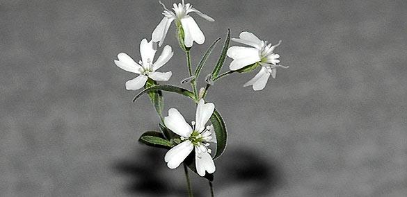 Ejemplar obtenido de la 'Silene stenophylla' congelada