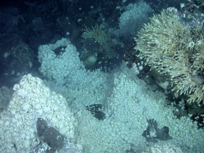 Enormes colonias de una nueva especie de cangrejo yeti, agrupados alrededor de conductos de ventilación