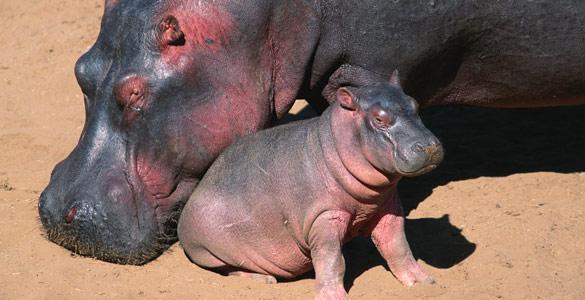 Los hipopótamos secretan un líquido rosáceo que protege su piel