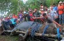 Los cazadores necesitaron la ayuda de 30 hombres para apresar al cocodrilo
