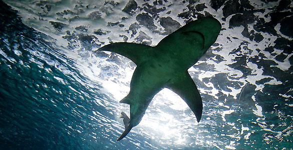 Más de la mitad de los tiburones de alta mar están en peligro de extinción
