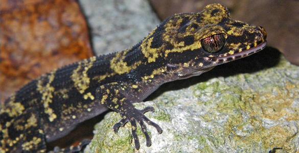 La nueva especie de gecko descrita en Papúa Nueva Guinea