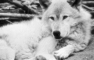 Ver vídeo  '30 años sin Félix - Félix y los lobos'