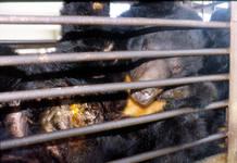 La extracción de bilis a estos animales se produce mediante incisiones practicadas en el abdomen y la vesícula biliar que se mantienen abiertas con sondas