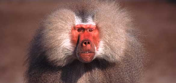 Un nuevo estudio señala que los monos babuinos son capaces de establecer analogías a pesar de no disponer de un lenguaje.
