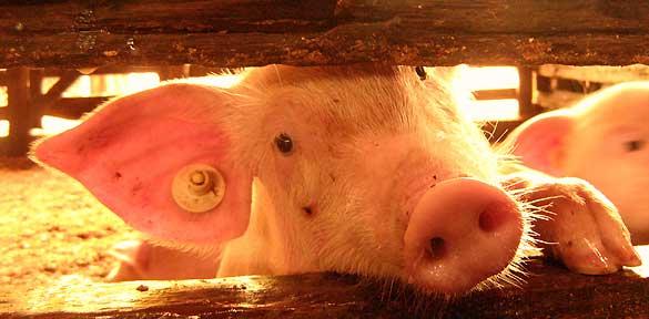 el-77-de-los-cerdos-europeos-son-castrados-sin-anestesia