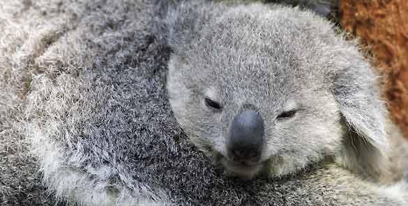 El joven koala se alimenta únicamente de leche materna durante los primeros seis meses y permanece en la bolsa durante todo ese tiempo, mientras desarrolla ojos, orejas, pelo, etc. A las 22 semanas sus ojos se abren y comienza a espiar hacia fuera de