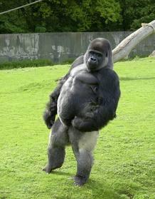 Ambam, el gorila que camina como los humanos