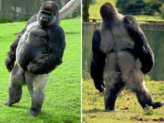 Ver v?deo  'Ambam, el gorila que camina como las personas'