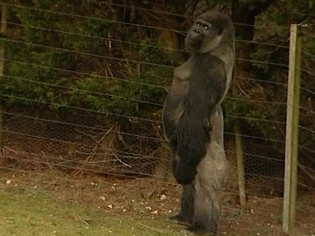 Ambam, el gorila que camina como las personas