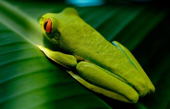 Fotografía de Ángel Navarro Gómez en al selva costarricense. Lo más llamativo son sus ojos rojos que contrastan con el verde intenso de su cuerpo.