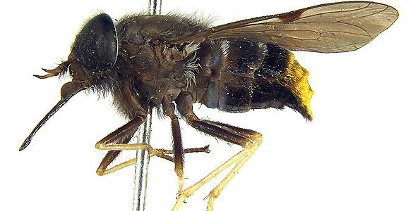 La mosca tiene el abdomen dorado, como uno de los atuendos empleados por Beyoncé