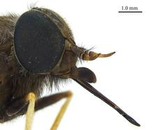La mosca fue recolectada en una localidad del noreste australiano en 1981