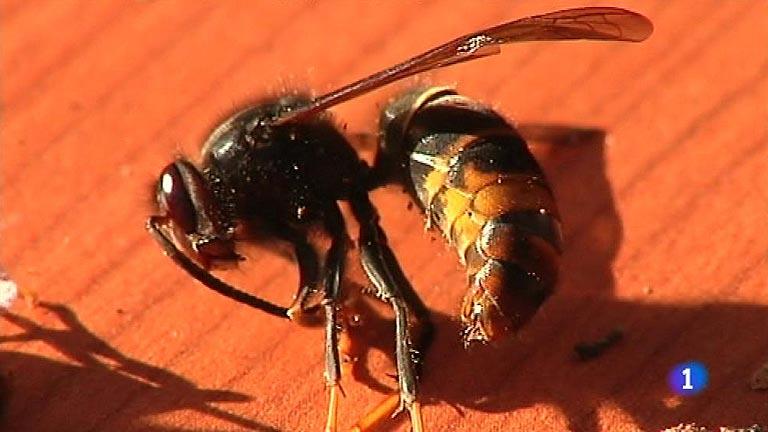 La avispa asiática 'devora-abejas' llega a Cantabria