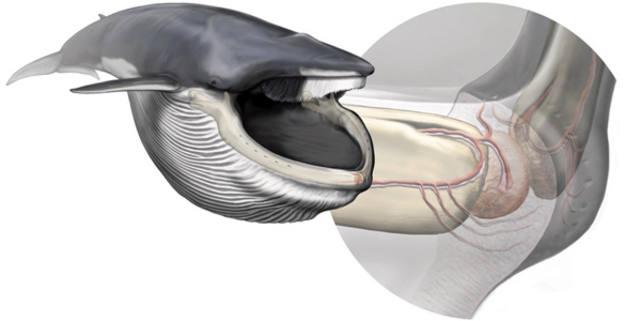 El órgano sensorial de la ballena azul, del tamaño de una naranja, está situado en la punta de la mandíbula