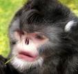 Reconstrucción de un mono de nariz chata de Myanmar (Birmania) que estornuda cuando l