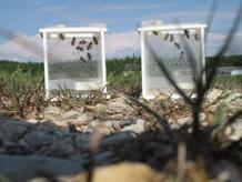 Grupos de abejas tratados durante la investigación