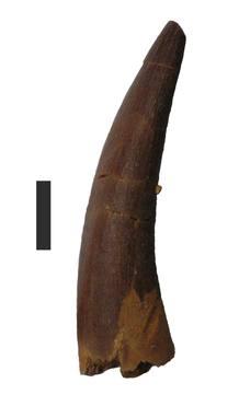 Diente de un plesiosaurio, una de las especies estudiadas.
