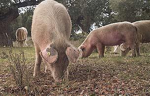 Ver v?deo  'En busca del ADN del cerdo ibérico puro'