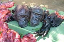 Entre los animales que se cazan en grandes cantidades hay especies que están protegidas, como los elefantes y algunos primates.