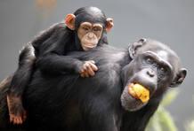 Un cachorro de chimpancé (Sembre) descansando tranquilamente encima de su madre.