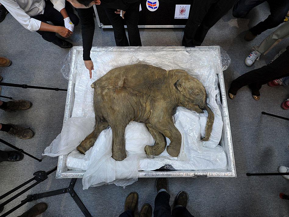 El cadáver del bebé mamut mejor conservado del mundo, que tiene una antigüedad de 42.000 años y que fue hallado en 2007 en Rusia, se expuso en abril en un centro comercial de Hong Kong.