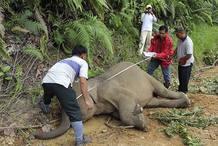 Cadáver de elefante pigmeo