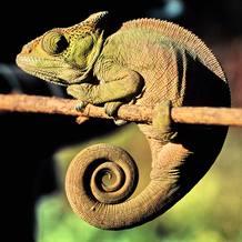 Un camaleón mimetizado con el ambiente
