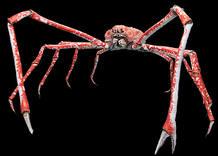 Un cangrejo araña japonés
