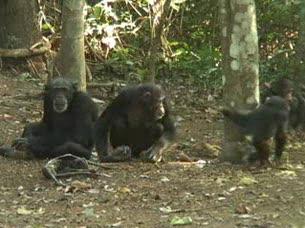 Ver vídeo  'Los chimpancés lloran la muerte de sus seres queridos'