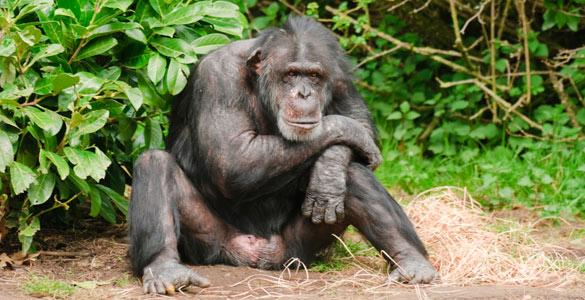 Los chimpancés y otras especies animales tienen el pene con espinas