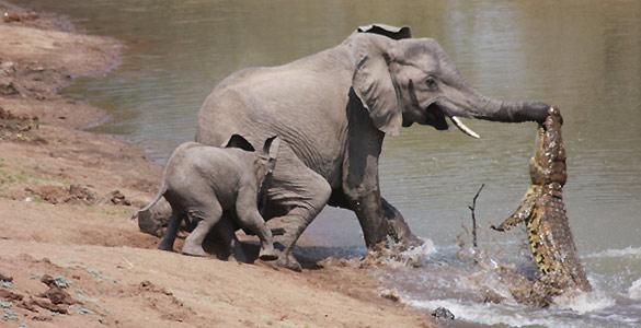El cocodrilo se aferra a la trompa del elefante para intentar meterlo en el agua