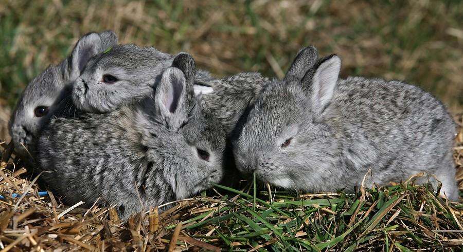 El conejo Cluj, una nueva raza