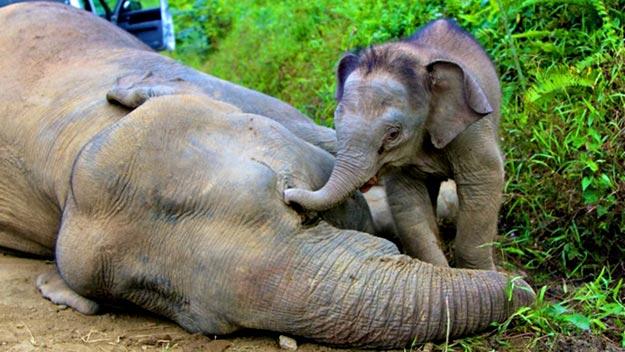 Cría de elefante pigmeo jutno a su madre muerta