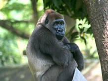 Un gorila del río Cross