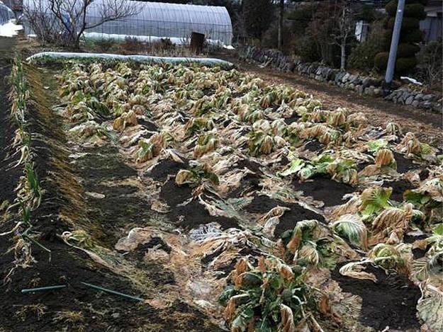 Cultivos abandonados por la contaminación nuclear en Fukushima.
