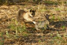 Dátil, un lince ibérico nacido en cautividad, cazando un conejo
