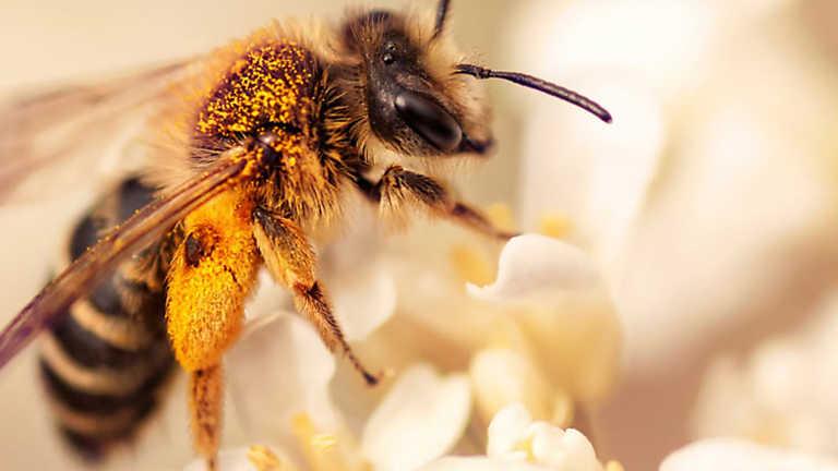 El escarabajo verde - El declive de las abejas
