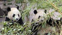 Ir al Video Po y Dede, dos osos panda del zoo de Madrid viajan a China
