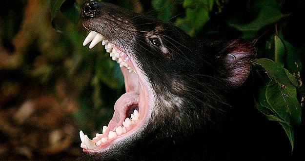 Animals blog: El demonio de Tasmania