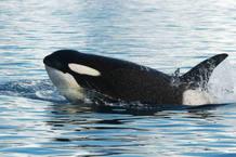 Depredadores, como las orcas, comen todo lo que pueden sin distinción