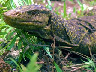 Ver v?deo  'Descubren en Filipinas una nueva especia de lagarto'