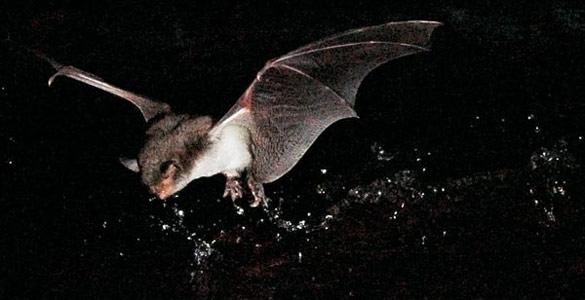 Descubren el primer murciélago pescador en Europa