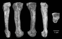 Diferentes vistas del metatarsiano que ha revelado que los homínidos caminaban erguidos
