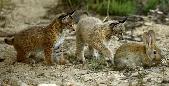 Dos cachorros de lince ib&eacute;rico, el felino m&aacute;s amenazado del mundo, observan un conejo